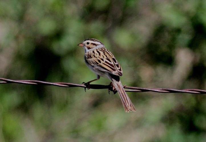 Clay-coloured Sparrow hghj3