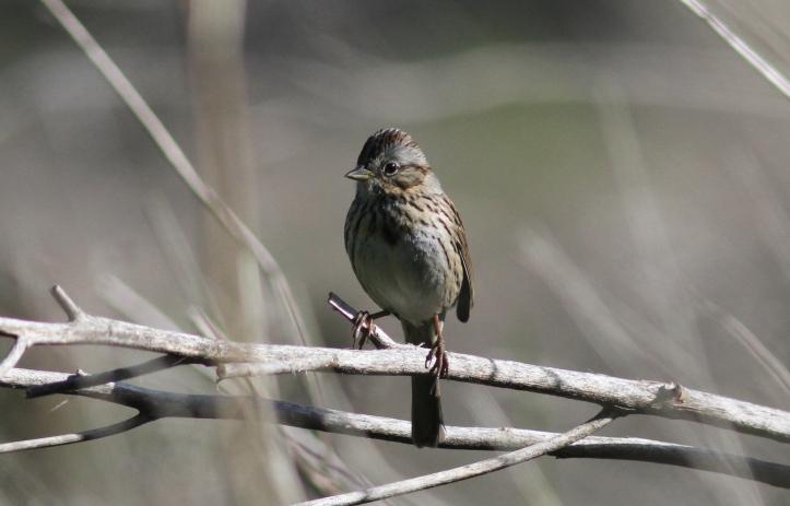 Lincoln's Sparrow hhj3