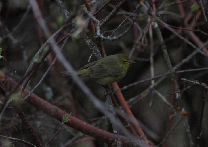 Orange-crowned Warbler gjj3