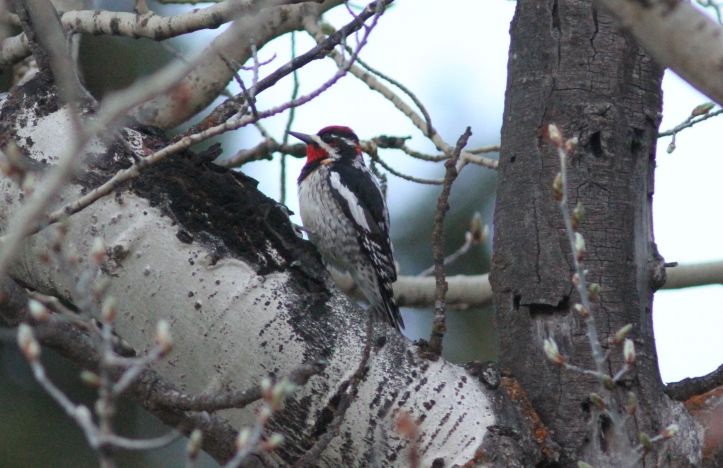 Red-naped Sapsucker gvj3