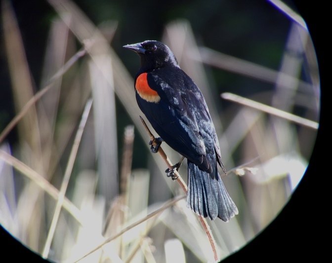 Red-winged Blackbird hgjh3