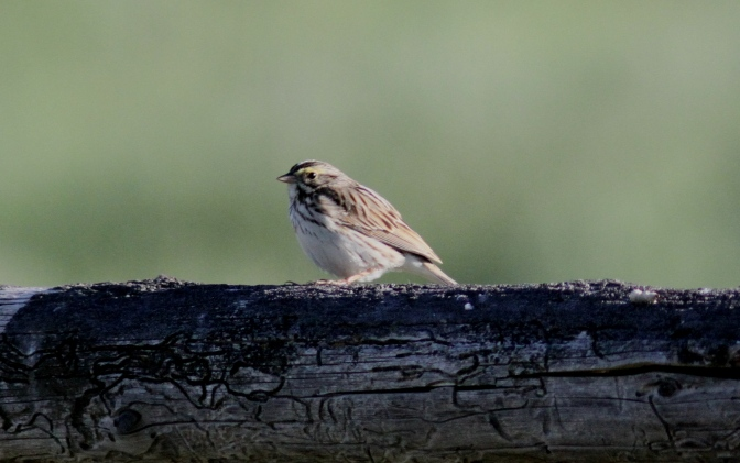 Savannah Sparrow hj3f