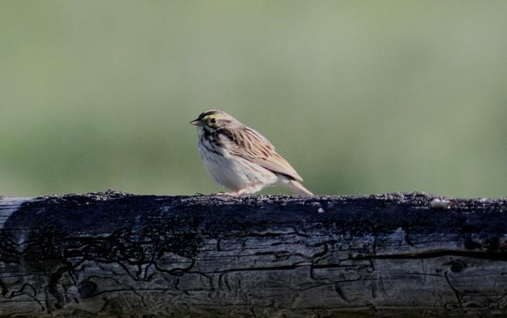 Savannah Sparrow hj3f