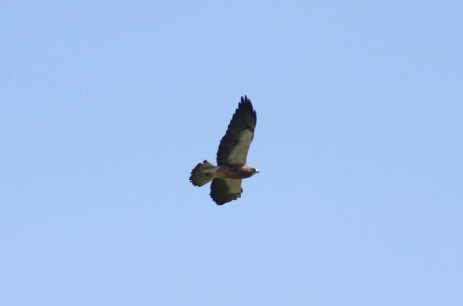 Swainson's Hawk ff3'