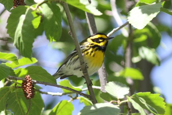 Townsend's Warbler gfy3