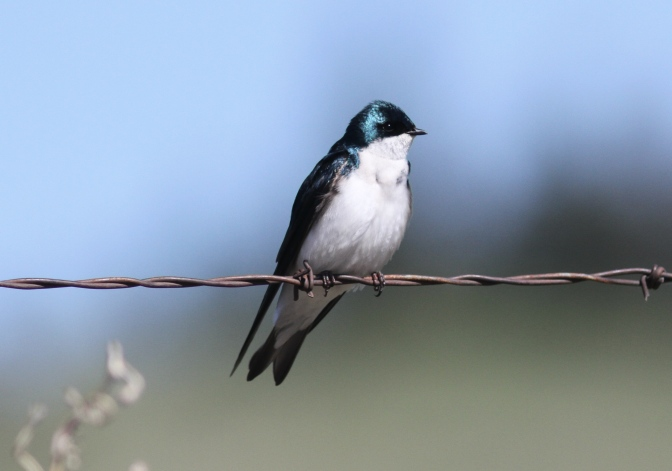 Tree Swallow hhj3f