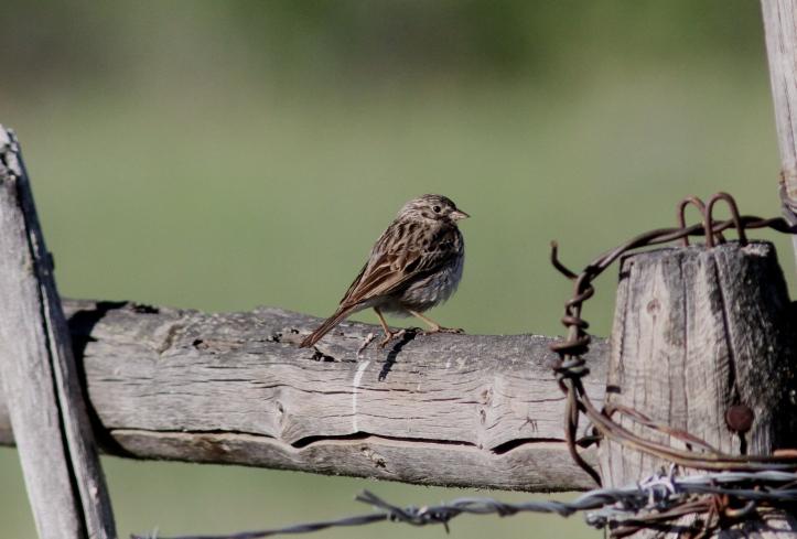 Vesper Sparrow hj3