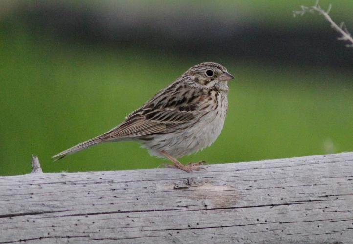 Vesper Sparrow khj3