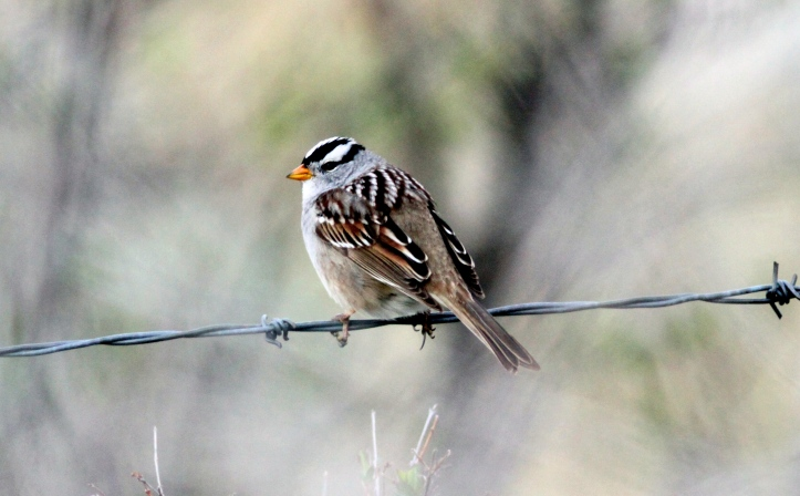 White-crowned Sparrow kbhk3