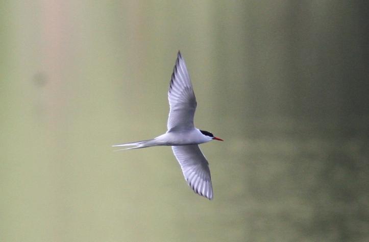 Arctic Tern k3g