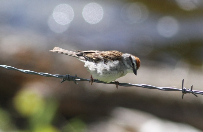 Chipping Sparrow bhj3f