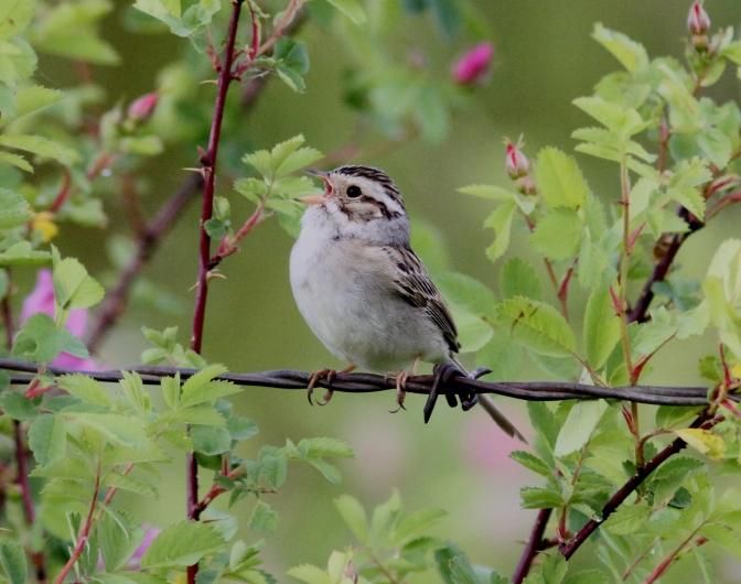 Clay-colored Sparrow hhj3f