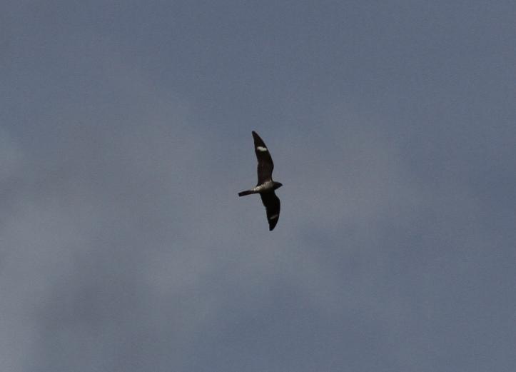 Common NIghthawk b3bj;f
