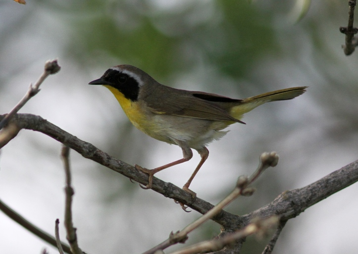 Common Yellowthroat jgvjv