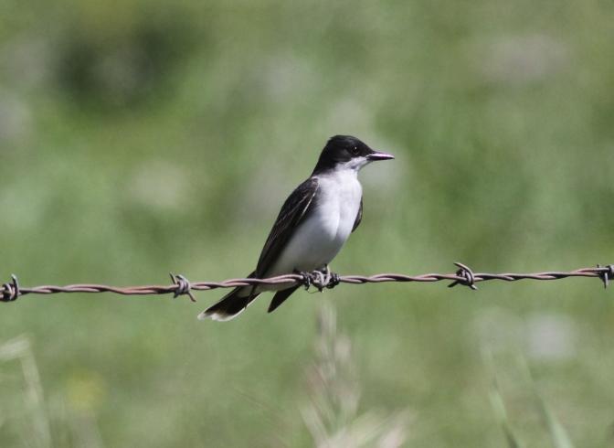 Eastern Kingbird bhkhjggd