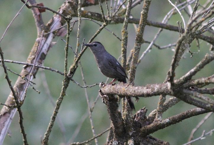 Gray Catbird j4gg