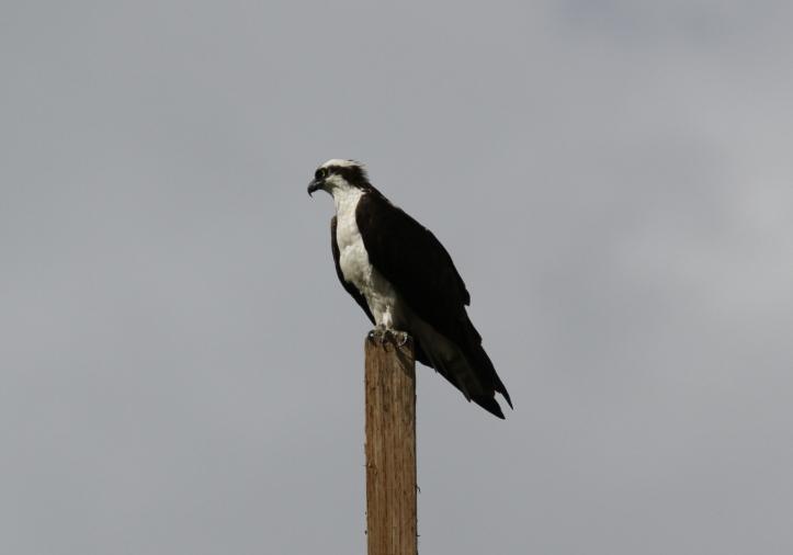 Osprey ouoggd