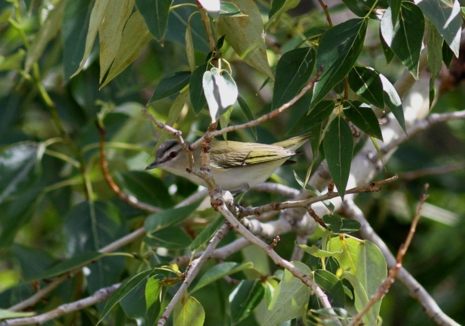 Red-eyed Vireo 3khjh3g