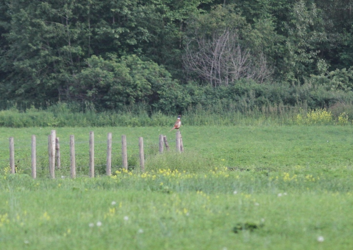 Ring-necked Pheasant 3jg