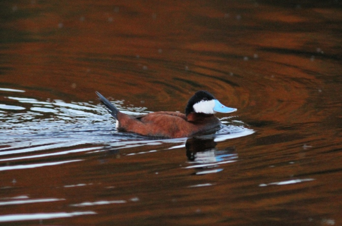 Ruddy Duck vjgj3f