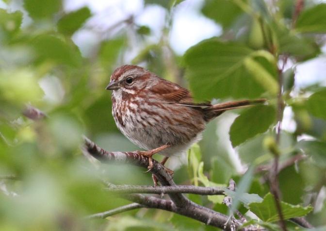 Song Sparrow hk3fg