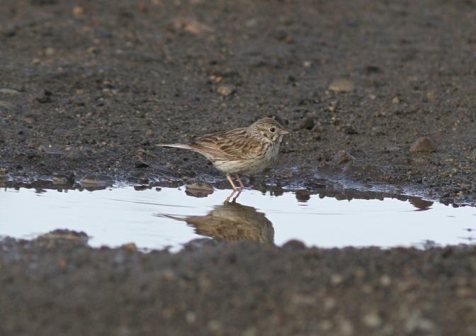 Vesper Sparrow hjj3gg