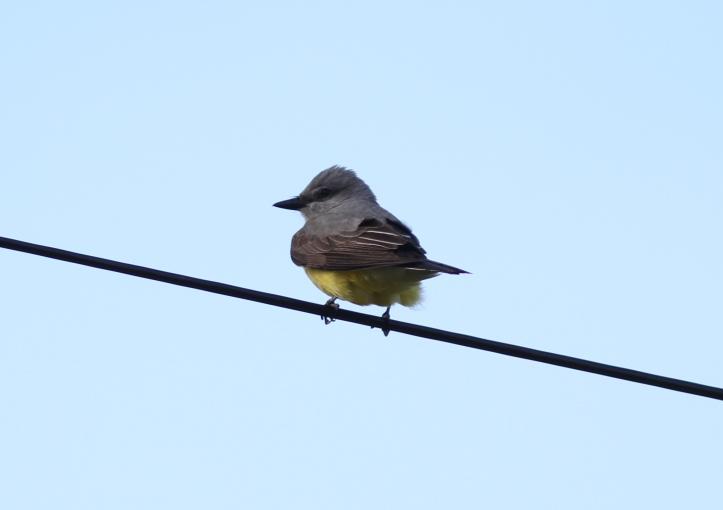 Western Kingbird vgghffs