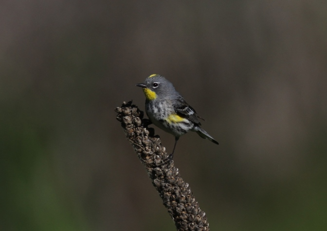 Yellow-rumped Warbler hh4