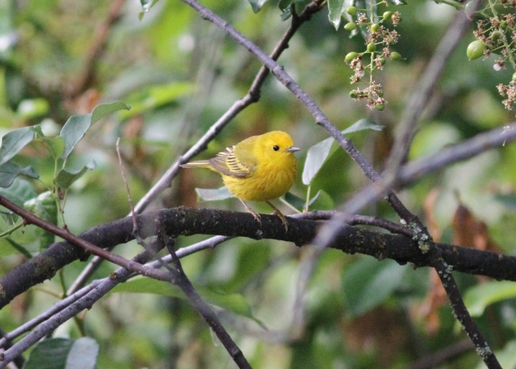 Yellow Warbler jhj4gg