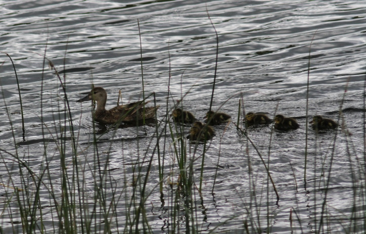 Blue-winged Teal bhjh3f