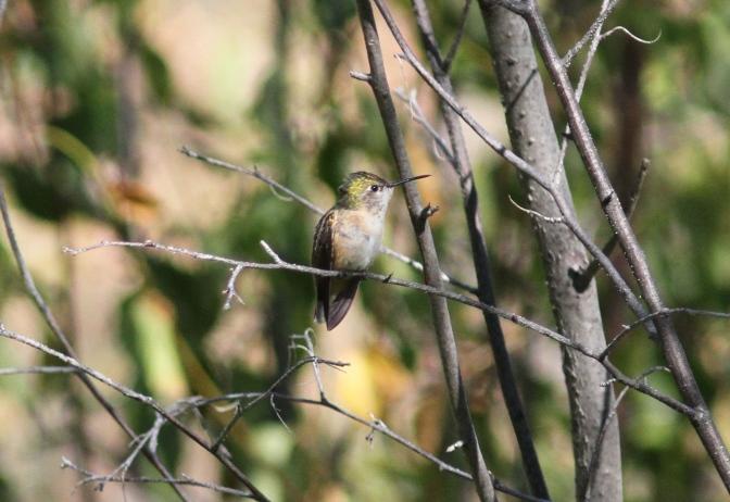 Calliope Hummingbird ghk3gg
