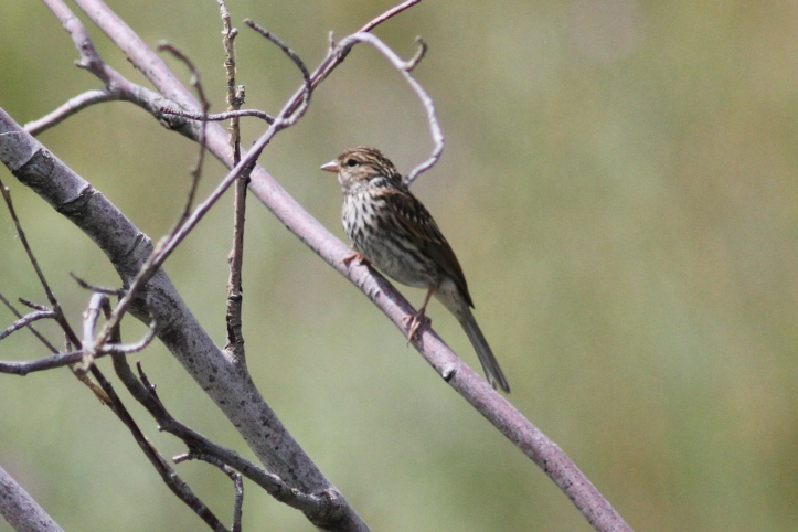 Chipping Sparrow khkg