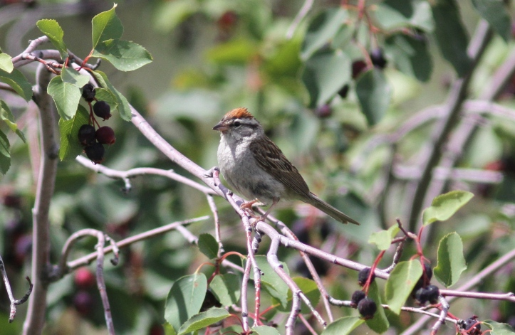 Chipping Sparrow kkfg