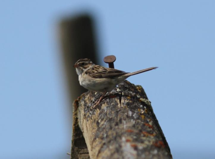 Clay-coloured Sparrow jj3f