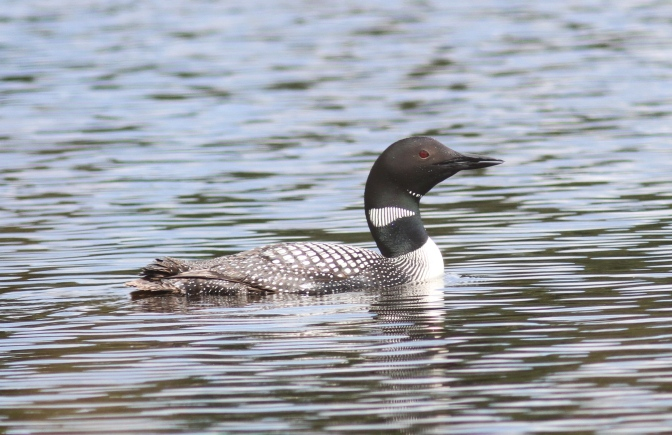 Common Loon hjh3f