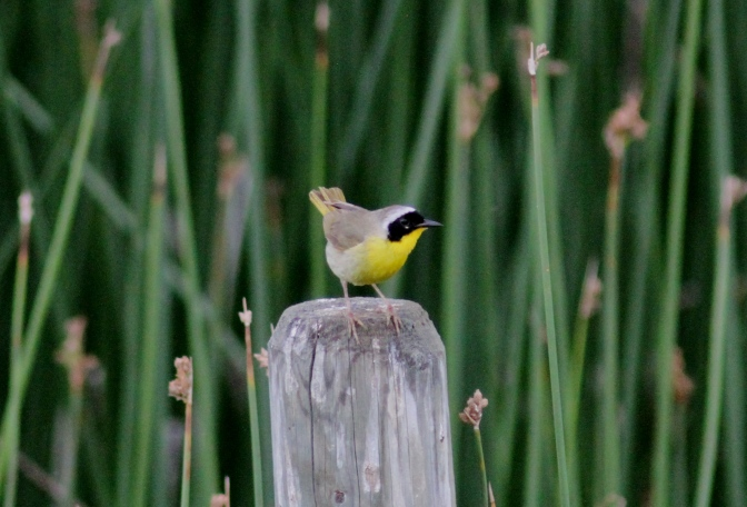 Common Yellowthroat kkgd
