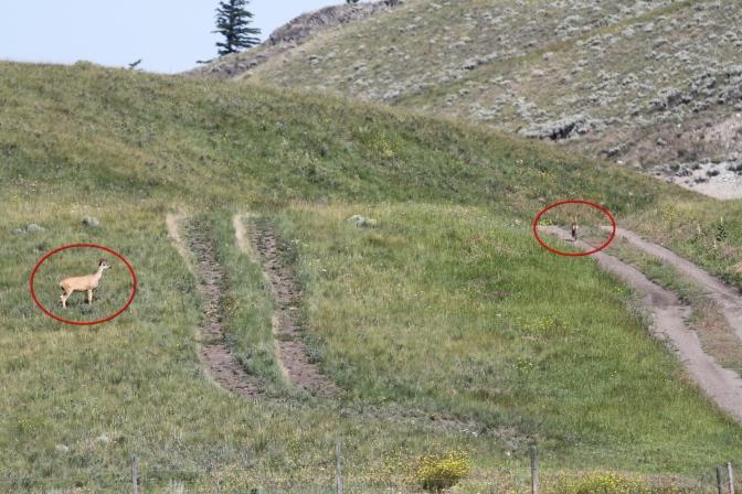 Deer chasing Coyote