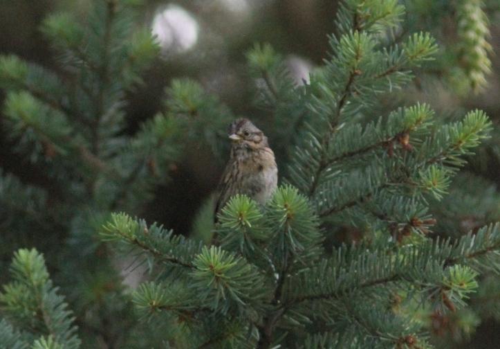 Lincoln's Sparrow bhghfd