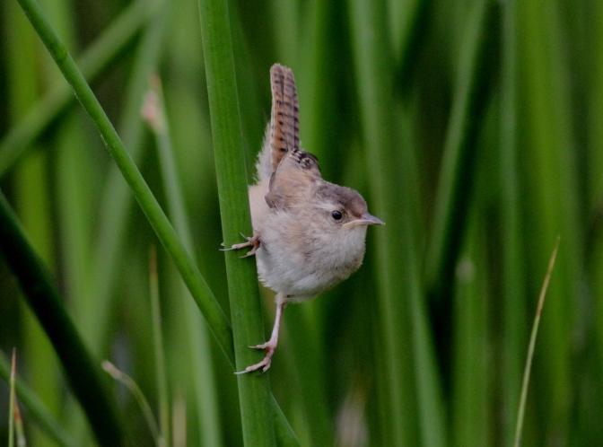 Marsh Wren bkg