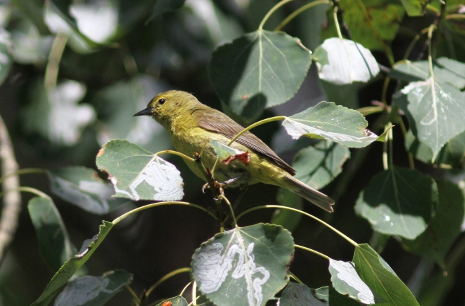 Orange-crowned Warbler hhjfd