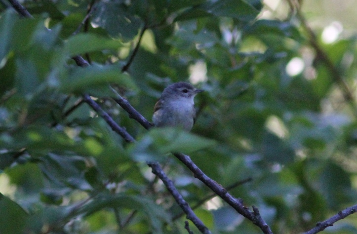 Red-eyed Vireo bgj3g
