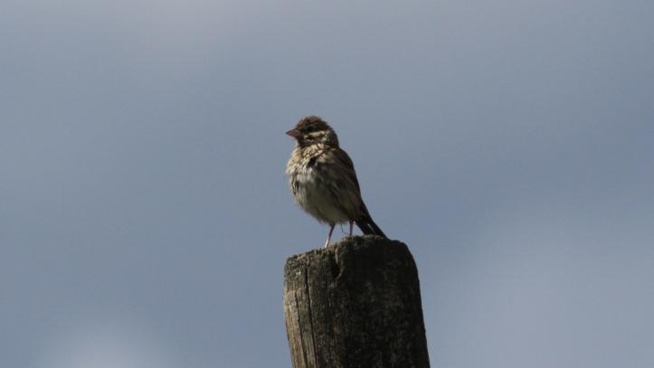 Vesper Sparrow kh3f