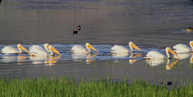American White Pelican bhj4