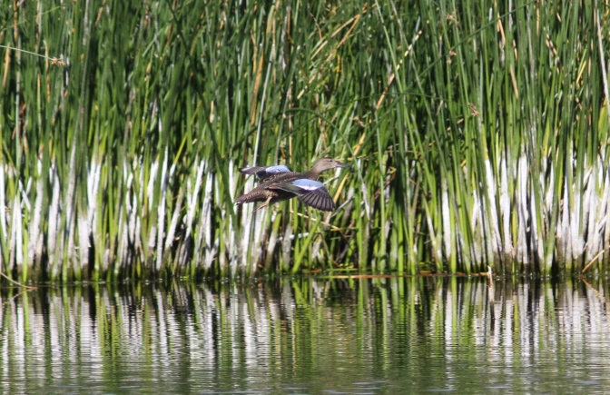 Blue-winged Teal bj3