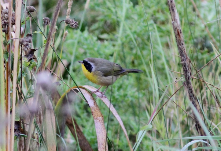 Common Yellowthroat hh3