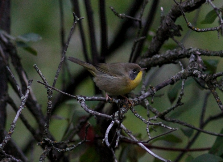 Common Yellowthroat hjjh3