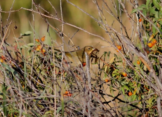 Common Yellowthroat j33.JPG
