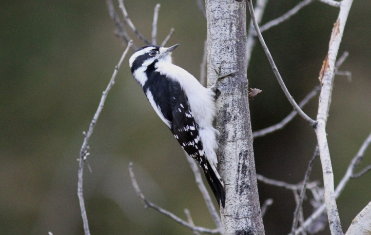 Downy Woodpecker ghg44.JPG
