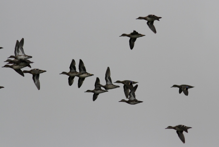 Green-winged Teal hkjhjk3.JPG