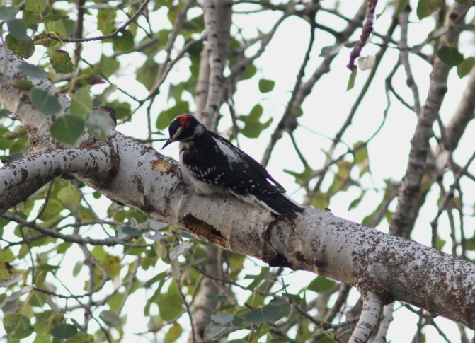 Hairy Woodpecker gh3.JPG